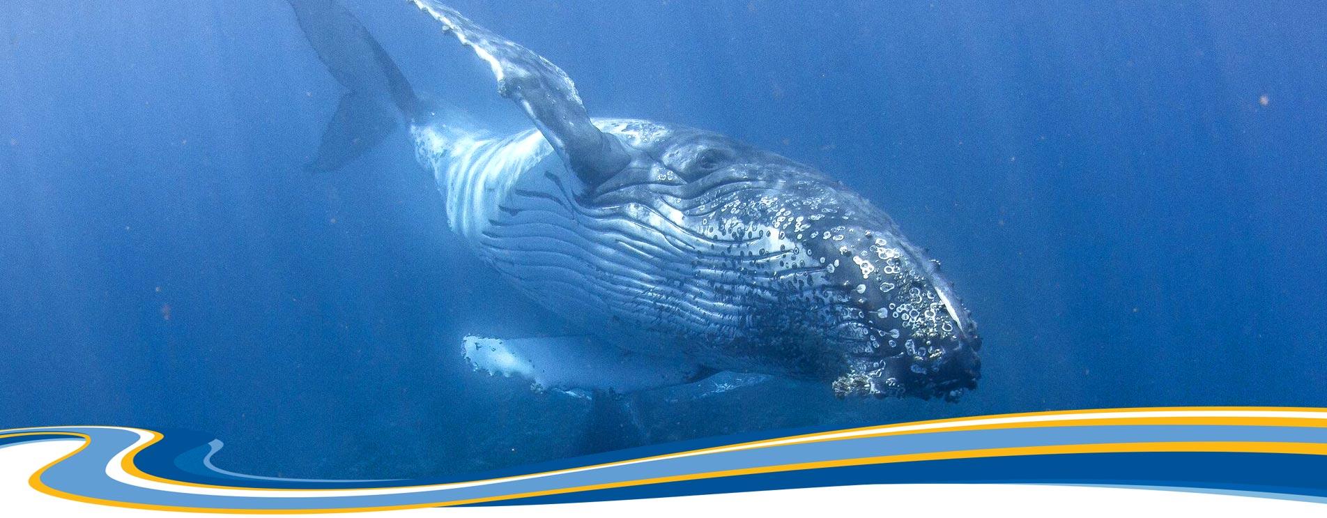 humpback whale tour