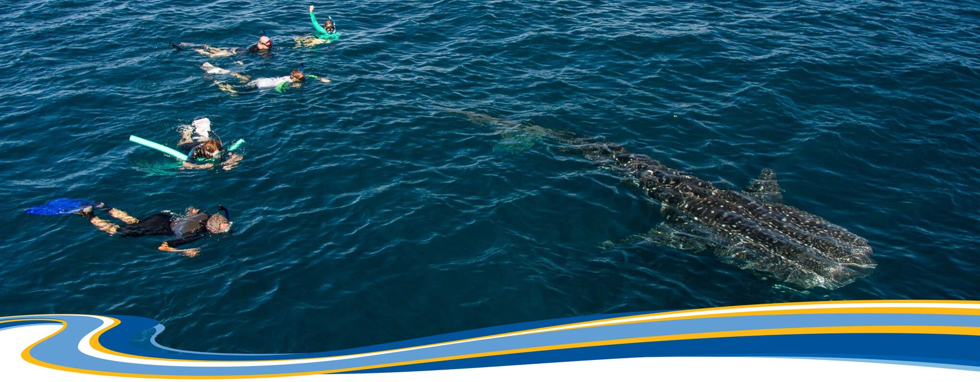 swim with a whale shark in exmouth