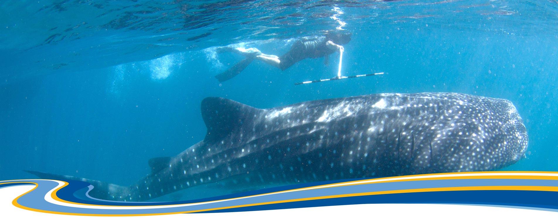 ジンベイザメの研究