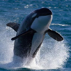 ザトウクジラの水泳ツアー