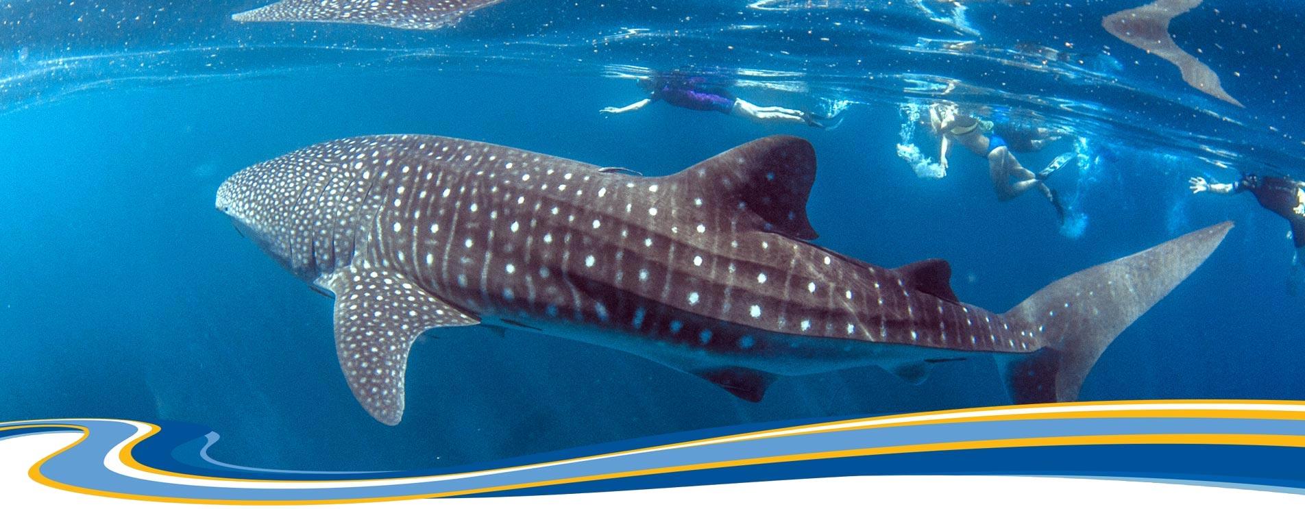 WHALE SHARK SWIM NINGALOO